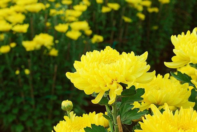 Những loài hoa trưng Tết mang vượng khí rước tài lộc vào nhà - Ảnh 4.