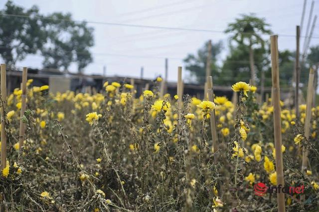 Làng trồng hoa nổi tiếng ở Hà Nội ế ẩm, dân khóc ròng cắt hoa vứt đầy ruộng - Ảnh 1.