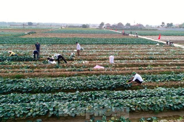 Hải Dương: Thu hoạch nông sản trong vùng phong tỏa COVID-19 - Ảnh 1.