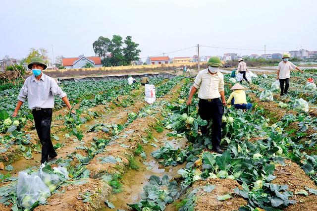 Hải Dương: Thu hoạch nông sản trong vùng phong tỏa COVID-19 - Ảnh 2.