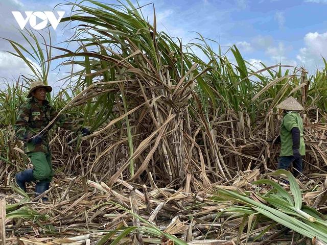 Mía được mùa được giá, người trồng ở Đắk Lắk phấn khởi - Ảnh 2.