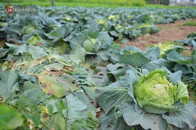 Nước mắt sau Tết: Người nông dân nhổ bỏ cải bắp, su hào vì ế không bán được - Ảnh 11.