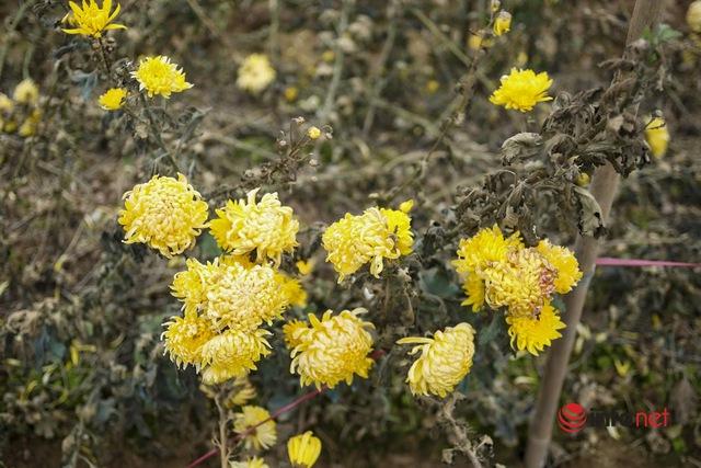 Làng trồng hoa nổi tiếng ở Hà Nội ế ẩm, dân khóc ròng cắt hoa vứt đầy ruộng - Ảnh 12.