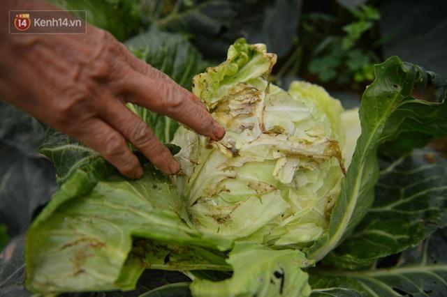 Nước mắt sau Tết: Người nông dân nhổ bỏ cải bắp, su hào vì ế không bán được - Ảnh 13.