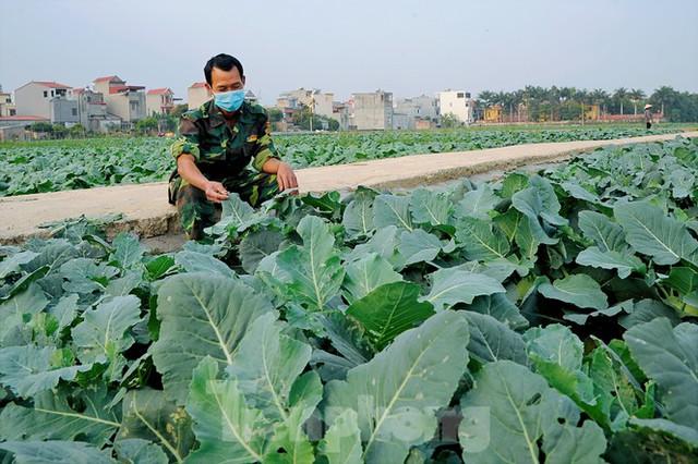 Hải Dương: Thu hoạch nông sản trong vùng phong tỏa COVID-19 - Ảnh 5.