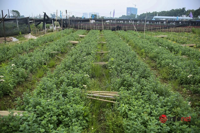 Làng trồng hoa nổi tiếng ở Hà Nội ế ẩm, dân khóc ròng cắt hoa vứt đầy ruộng - Ảnh 6.