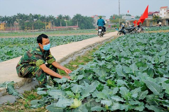 Hải Dương: Thu hoạch nông sản trong vùng phong tỏa COVID-19 - Ảnh 6.