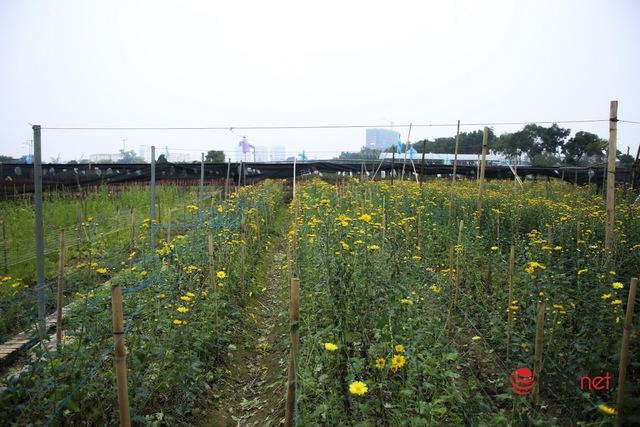 Làng trồng hoa nổi tiếng ở Hà Nội ế ẩm, dân khóc ròng cắt hoa vứt đầy ruộng - Ảnh 7.