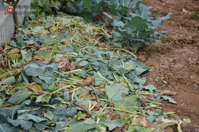 Nước mắt sau Tết: Người nông dân nhổ bỏ cải bắp, su hào vì ế không bán được - Ảnh 9.