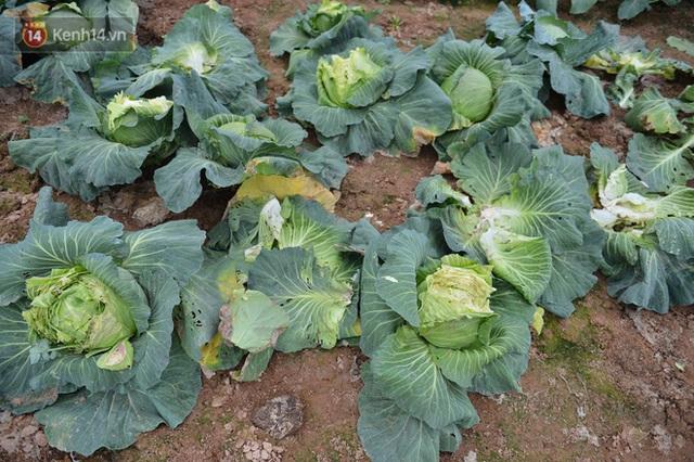 Nước mắt sau Tết: Người nông dân nhổ bỏ cải bắp, su hào vì ế không bán được - Ảnh 10.