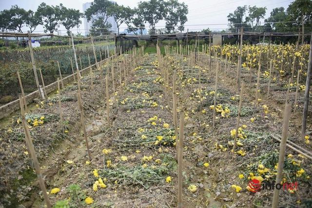 Làng trồng hoa nổi tiếng ở Hà Nội ế ẩm, dân khóc ròng cắt hoa vứt đầy ruộng - Ảnh 10.