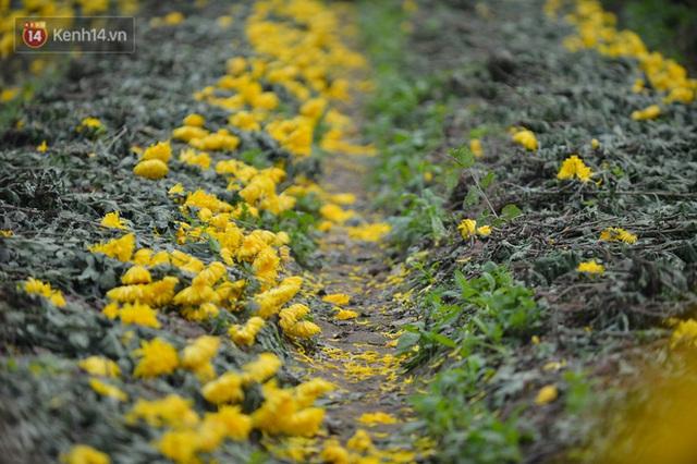 Nông dân Tây Tựu nuốt nước mắt, nhổ hoa vứt bỏ đầy đồng vì ế không bán được - Ảnh 2.