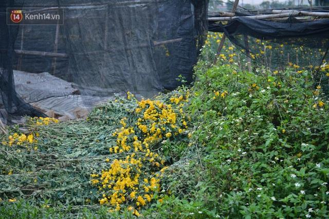 Nông dân Tây Tựu nuốt nước mắt, nhổ hoa vứt bỏ đầy đồng vì ế không bán được - Ảnh 11.