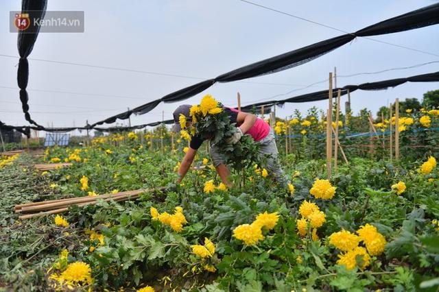 Nông dân Tây Tựu nuốt nước mắt, nhổ hoa vứt bỏ đầy đồng vì ế không bán được - Ảnh 13.