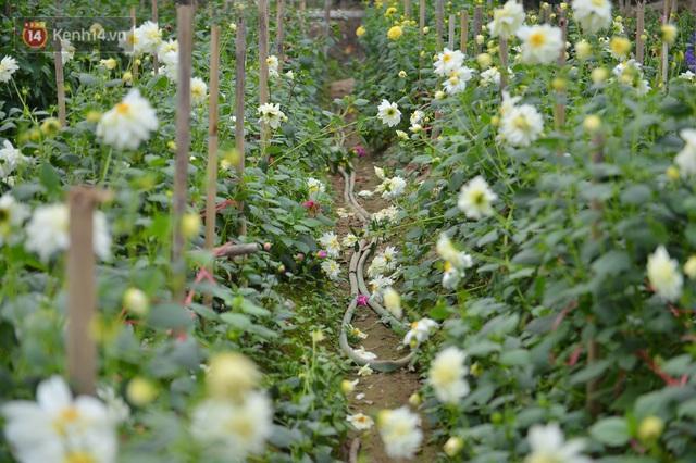 Nông dân Tây Tựu nuốt nước mắt, nhổ hoa vứt bỏ đầy đồng vì ế không bán được - Ảnh 19.
