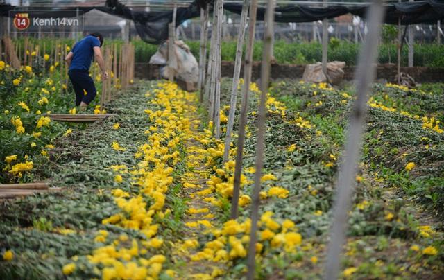 Nông dân Tây Tựu nuốt nước mắt, nhổ hoa vứt bỏ đầy đồng vì ế không bán được - Ảnh 3.