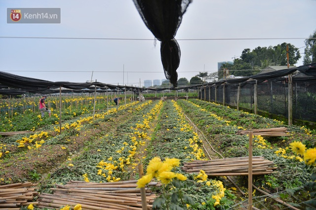 Nông dân Tây Tựu nuốt nước mắt, nhổ hoa vứt bỏ đầy đồng vì ế không bán được - Ảnh 6.