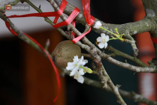 Ảnh: Hàng trăm người dân Hà Nội đổ xô đi mua hoa lê về chơi Rằm tháng Giêng - Ảnh 2.