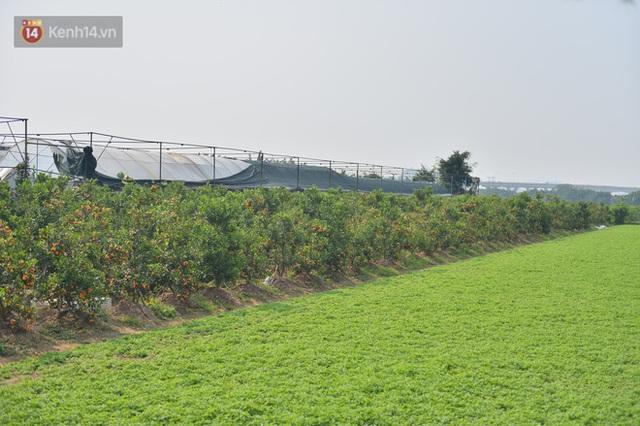 Ảnh: Hàng nghìn cây quất bonsai bạc triệu vẫn nằm im ở vườn, nông dân chẳng buồn ra đồng vì ngồi trên đống nợ - Ảnh 2.