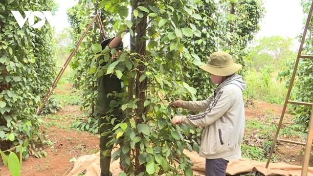 Hồ tiêu giảm giá, mất mùa khiến người trồng gặp khó  - Ảnh 1.