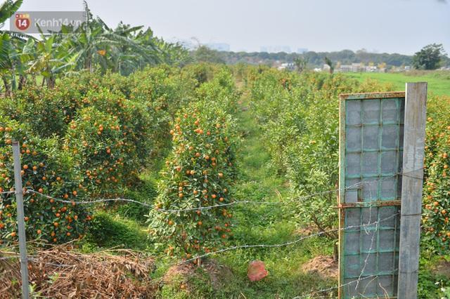 Ảnh: Hàng nghìn cây quất bonsai bạc triệu vẫn nằm im ở vườn, nông dân chẳng buồn ra đồng vì ngồi trên đống nợ - Ảnh 12.