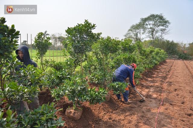 Ảnh: Hàng nghìn cây quất bonsai bạc triệu vẫn nằm im ở vườn, nông dân chẳng buồn ra đồng vì ngồi trên đống nợ - Ảnh 16.