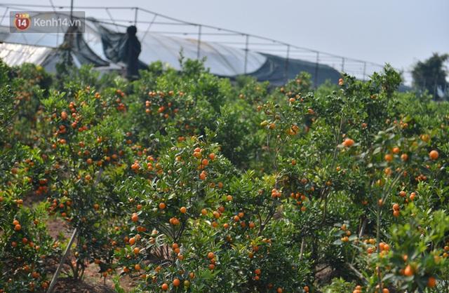 Ảnh: Hàng nghìn cây quất bonsai bạc triệu vẫn nằm im ở vườn, nông dân chẳng buồn ra đồng vì ngồi trên đống nợ - Ảnh 3.
