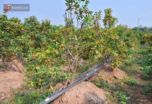 Ảnh: Hàng nghìn cây quất bonsai bạc triệu vẫn nằm im ở vườn, nông dân chẳng buồn ra đồng vì ngồi trên đống nợ - Ảnh 5.