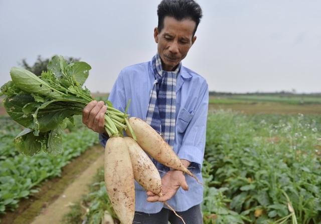 Cận cảnh người dân Hà Nội nhổ bỏ hàng trăm tấn củ cải vì không bán được  - Ảnh 1.