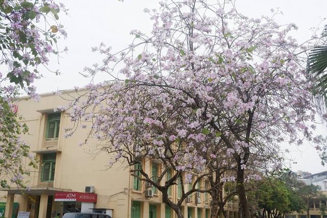 Ở Hà Nội có 1 trường đại học đẹp nhất vào mùa xuân, hoa ban nở rực khắp trời, nhưng muốn ghi danh phải xác định điểm đầu vào cao ngất ngưởng - Ảnh 1.
