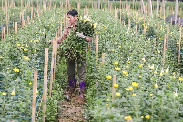 Rằm tháng Giêng, làng Tây Tựu lo sốt vó vì hoa ế ẩm - Ảnh 2.