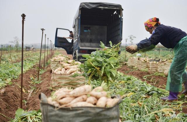 Cận cảnh người dân Hà Nội nhổ bỏ hàng trăm tấn củ cải vì không bán được  - Ảnh 11.