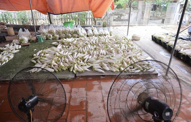 Cận cảnh người dân Hà Nội nhổ bỏ hàng trăm tấn củ cải vì không bán được  - Ảnh 15.