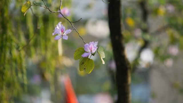 Ở Hà Nội có 1 trường đại học đẹp nhất vào mùa xuân, hoa ban nở rực khắp trời, nhưng muốn ghi danh phải xác định điểm đầu vào cao ngất ngưởng - Ảnh 3.