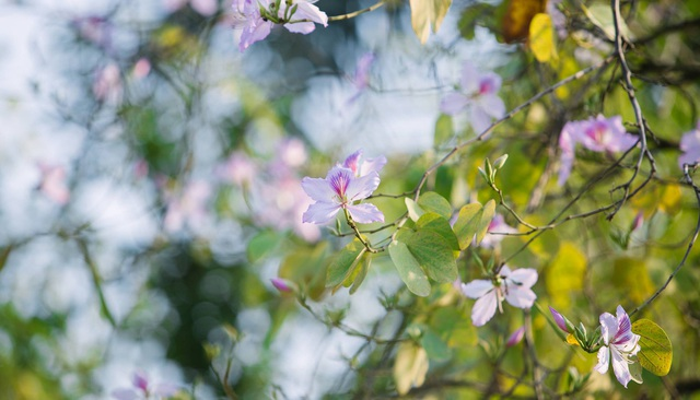 Ở Hà Nội có 1 trường đại học đẹp nhất vào mùa xuân, hoa ban nở rực khắp trời, nhưng muốn ghi danh phải xác định điểm đầu vào cao ngất ngưởng - Ảnh 5.