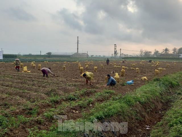 Khoai tây được mùa được giá, nông dân Nghệ An phấn khởi thu hoạch - Ảnh 1.