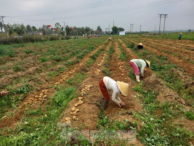 Khoai tây được mùa được giá, nông dân Nghệ An phấn khởi thu hoạch - Ảnh 2.