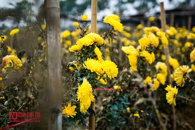 Nông dân ngậm ngùi cắt bỏ hoa do dịch Covid-19  - Ảnh 2.