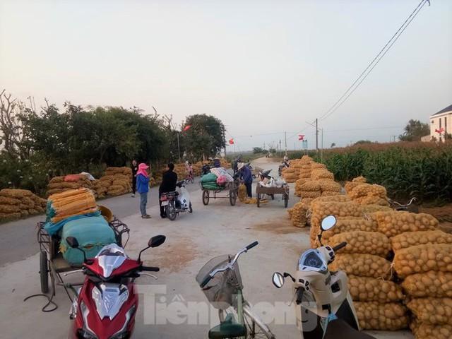 Khoai tây được mùa được giá, nông dân Nghệ An phấn khởi thu hoạch - Ảnh 5.