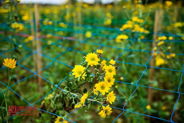 Nông dân ngậm ngùi cắt bỏ hoa do dịch Covid-19  - Ảnh 4.