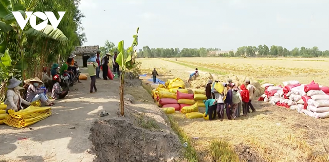 Giá lúa tăng cao, nông dân ĐBSCL thu lời gấp 2-3 lần năm ngoái - Ảnh 2.