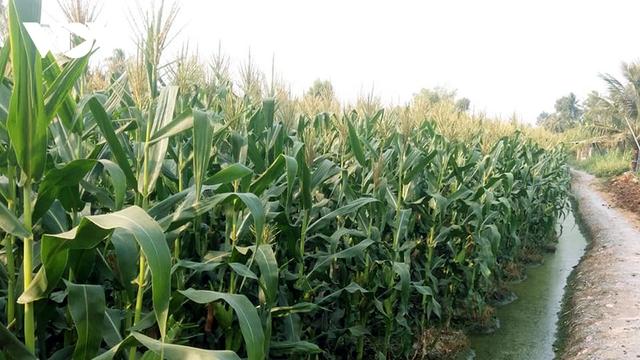 Nông dân Tiền Giang trồng bắp lãi gấp 2-3 lần so với trồng lúa - Ảnh 1.