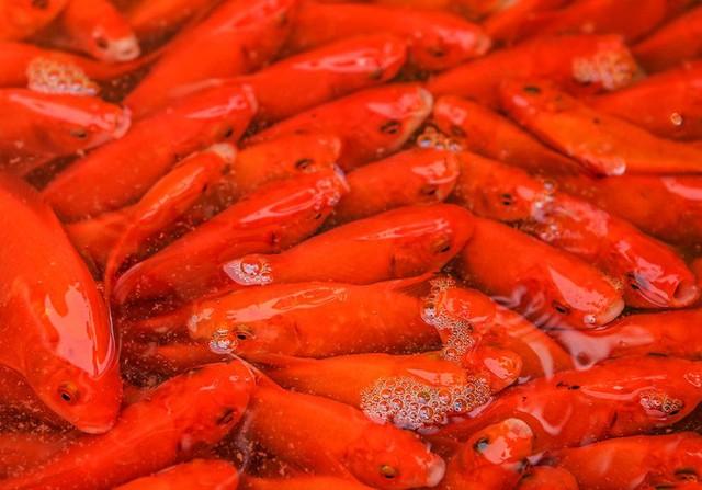 CLIP: Dịch Covid-19, chợ cá lớn nhất Hà Nội vẫn đỏ rực trước ngày cúng ông Công, ông Táo  - Ảnh 16.