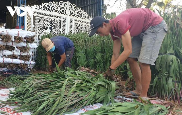 Giá rẻ không ai mua, người trồng hoa lay ơn Lâm Đồng lao đao - Ảnh 3.