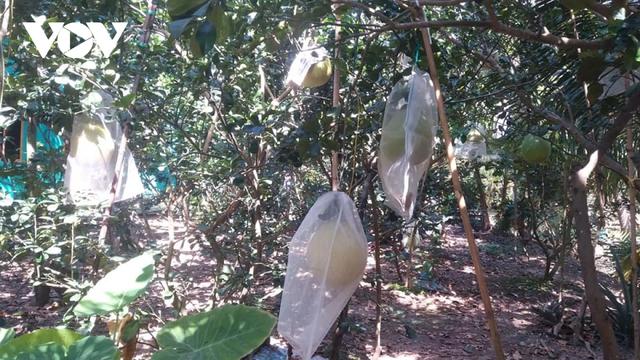 Nhà vườn trồng bưởi Thúng bán Tết giá gấp 20 lần bưởi da xanh - Ảnh 1.