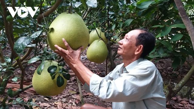 Nhà vườn trồng bưởi Thúng bán Tết giá gấp 20 lần bưởi da xanh - Ảnh 4.