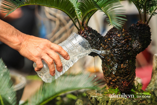Vạn tuế bonsai của nghệ nhân Hà thành giá hàng chục triệu đồng vẫn hút khách dịp Tết - Ảnh 12.