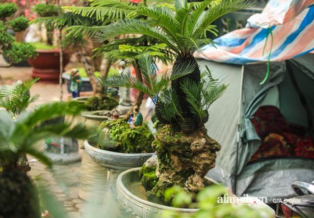 Vạn tuế bonsai của nghệ nhân Hà thành giá hàng chục triệu đồng vẫn hút khách dịp Tết - Ảnh 3.