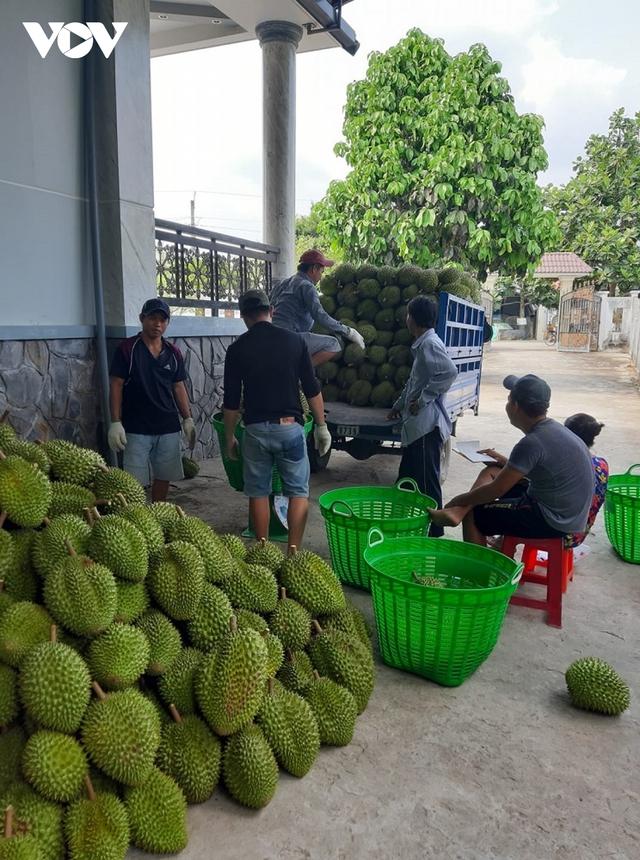 Vui tết tại các nhà vườn tỷ phú sầu riêng ở Tiền Giang  - Ảnh 2.