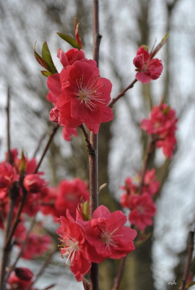 Kinh nghiệm để chọn và chăm sóc hoa đào ngày Tết - Ảnh 2.